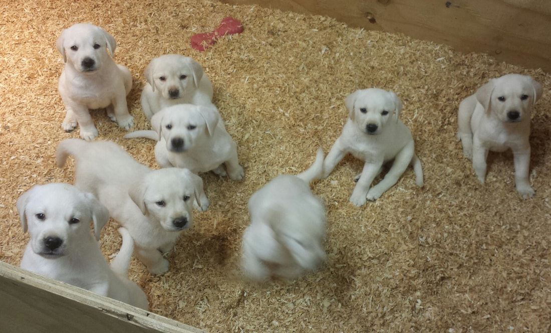White Labrador Puppies For Sale In Highland Ca