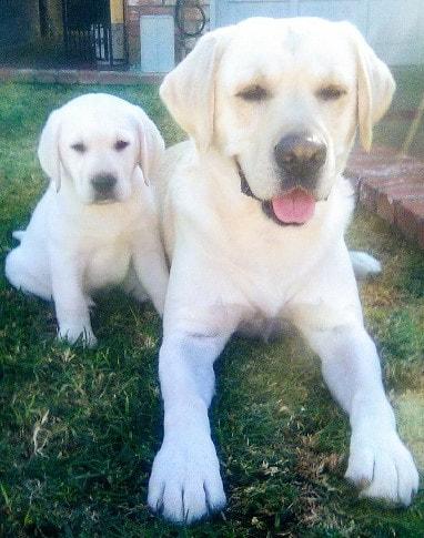 Omgbestwhitelabscom 909 649 2663 White Labrador Puppies For Sale